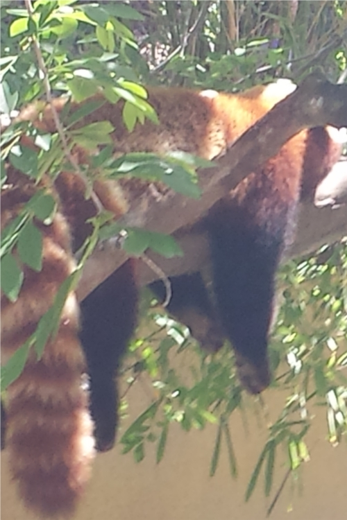 Red Panda SD Zoo